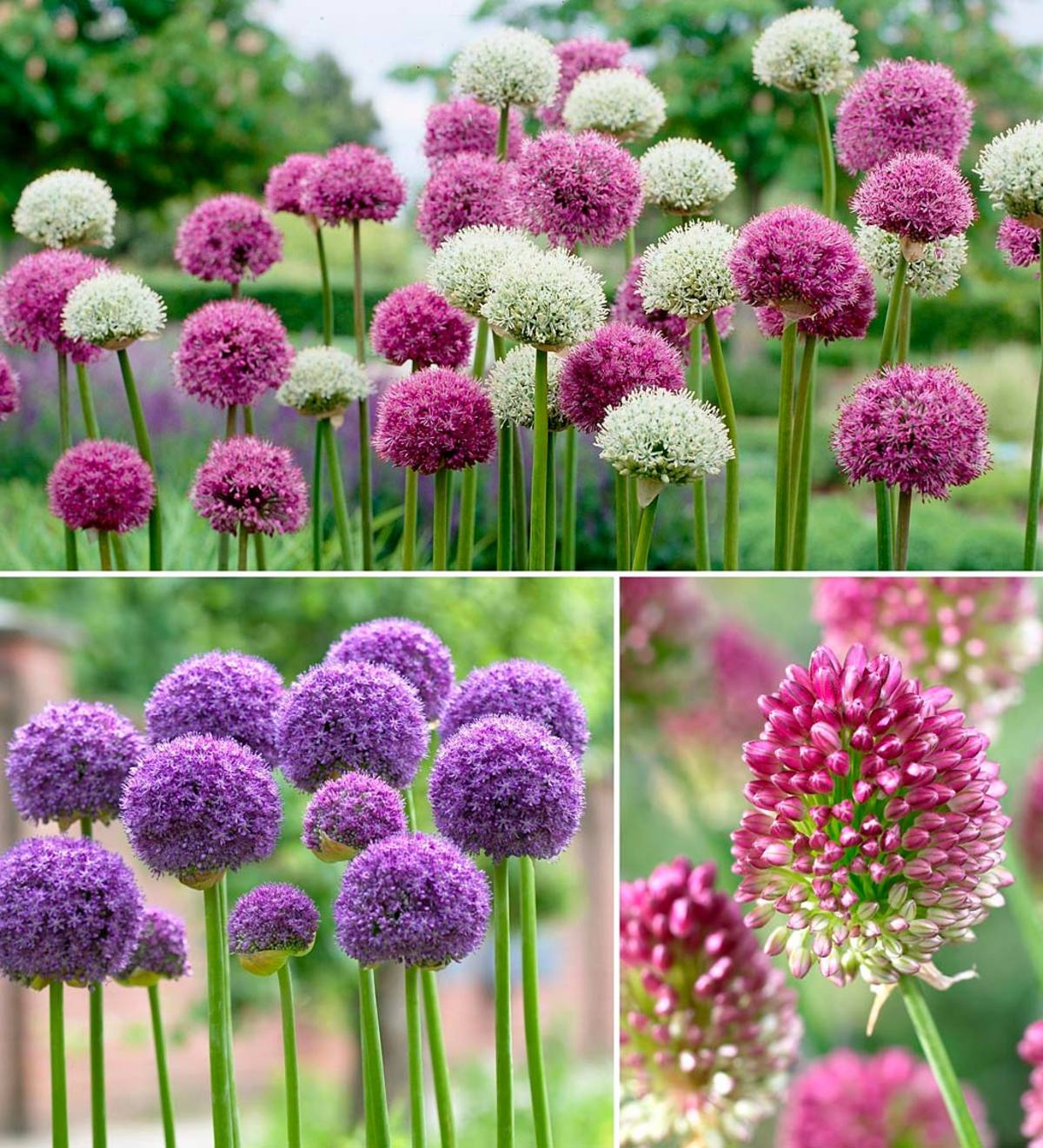 Allium Bulb Collection, 100 bulbs in 3 varieties
