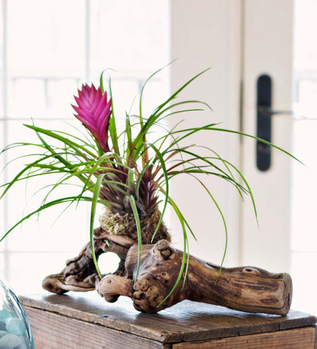 Tillandsia Air Plant On Grape Wood Branch
