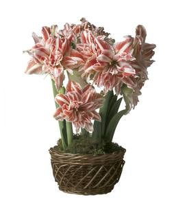 First Love Amaryllis Flower Bulb Gift Garden