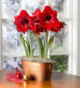 Dynamite Amaryllis Bulb Garden with Support Stakes