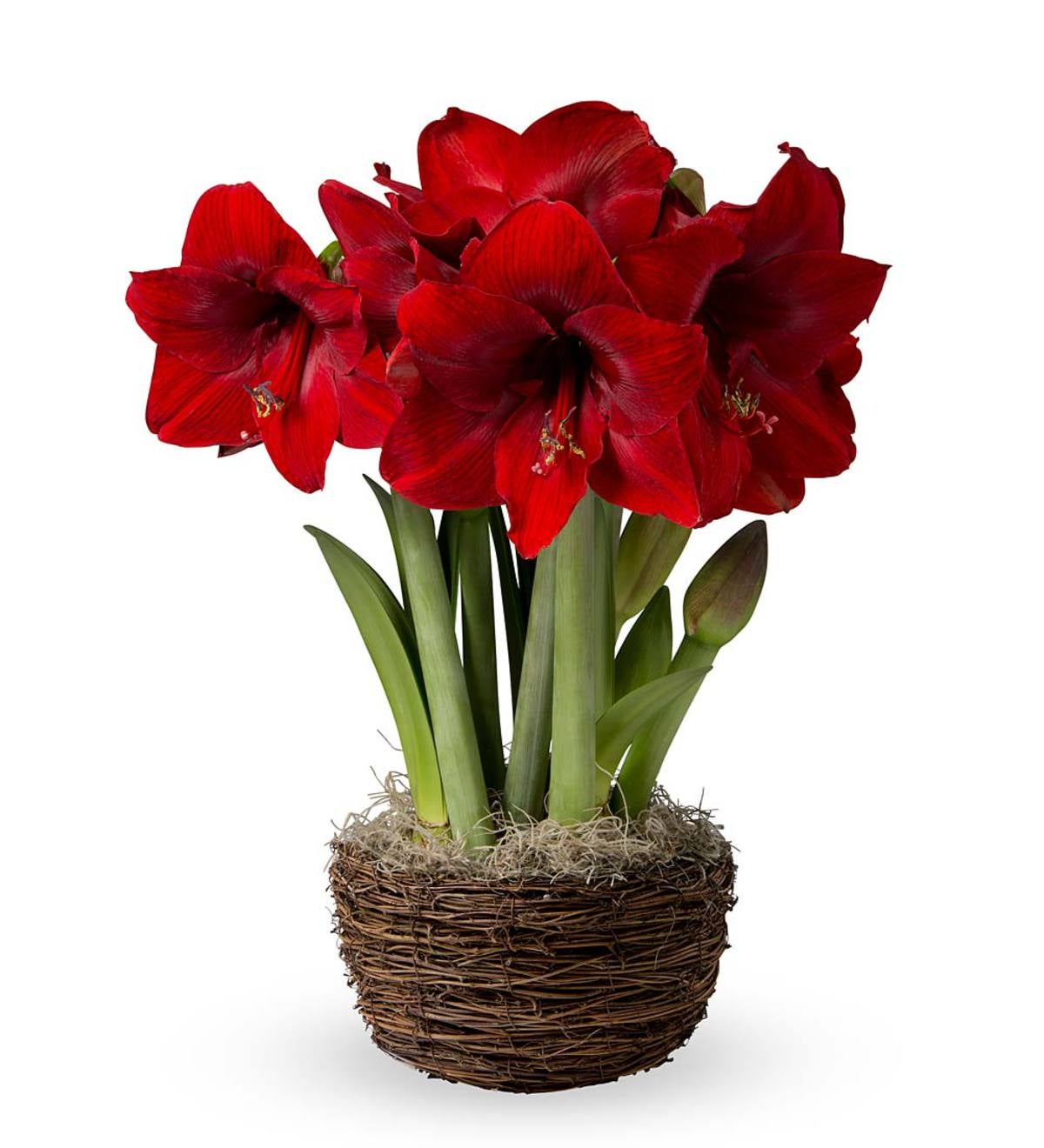 Dynamite Amaryllis Bulb Gift Garden