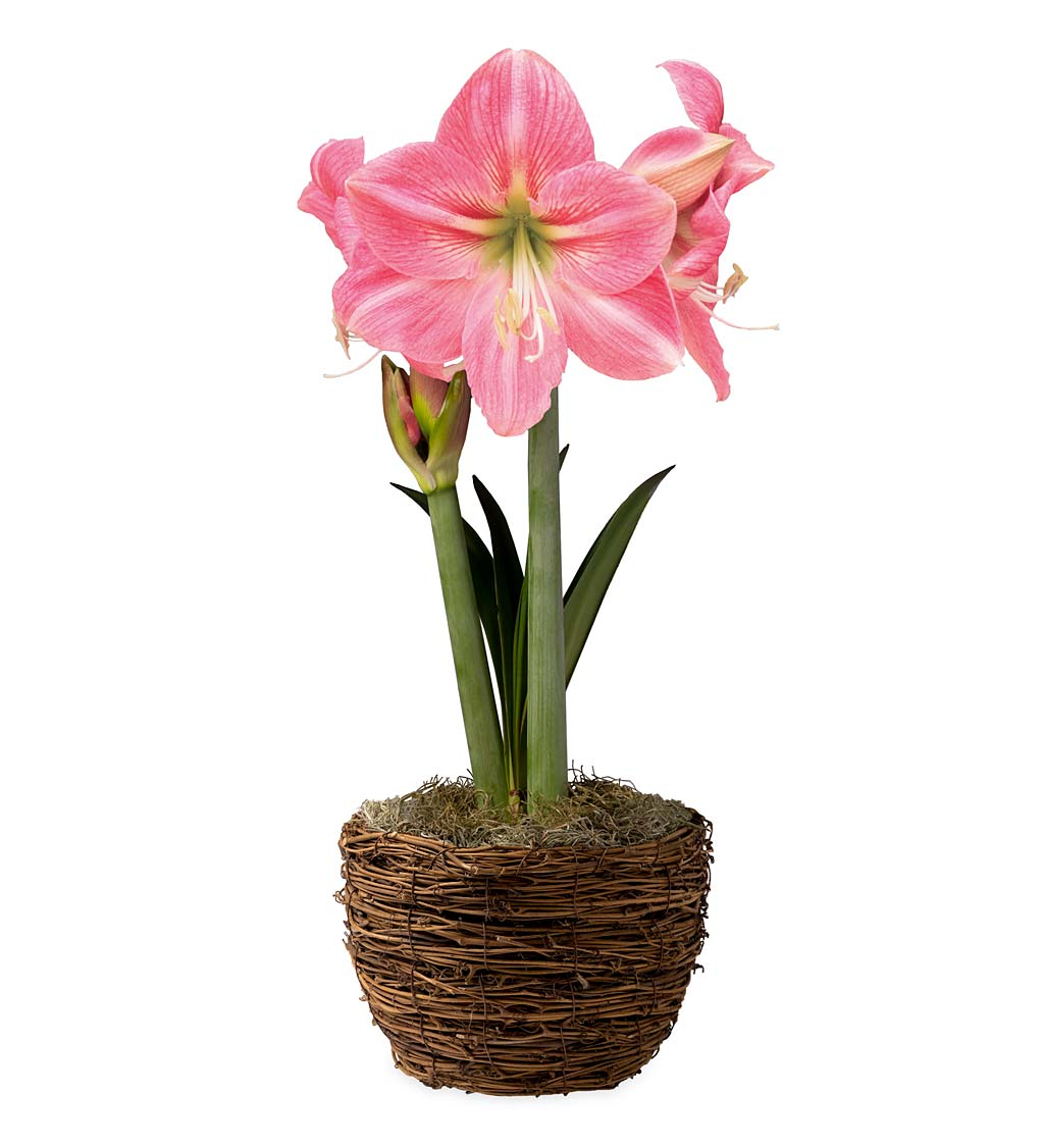 Potted 'Candy Floss' Amaryllis Bulb in Woven Basket