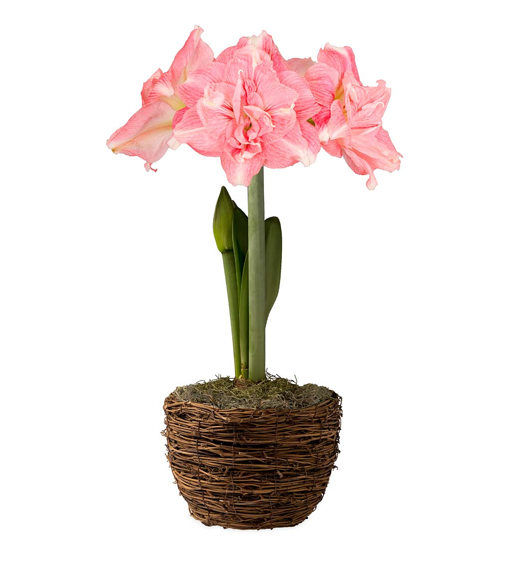 Potted 'Rozetta' Double-Petal Amaryllis Bulb in Woven Basket