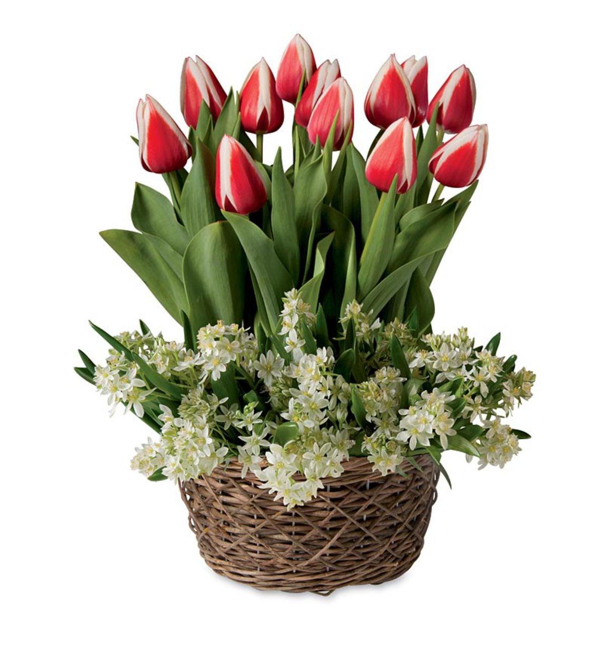 Tulips And Mini Star Of Bethlehem Pre Planted Flower Bulb Gift