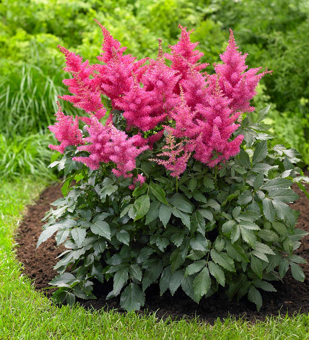 Hosta and Astilbe Shade-Loving Garden Collection With 14 Plants