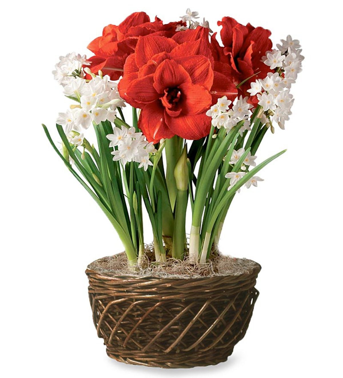 Bulb Garden With Amaryllis and Narcissus