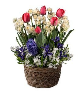 Tulip, Narcissus, Hyacinth, Iris and Scilla Flower Bulb Gift Garden