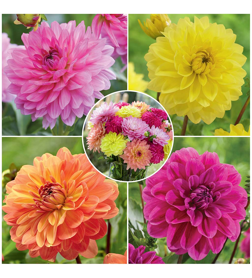 Summer Jewels Dahlia 12-Bulb Collection