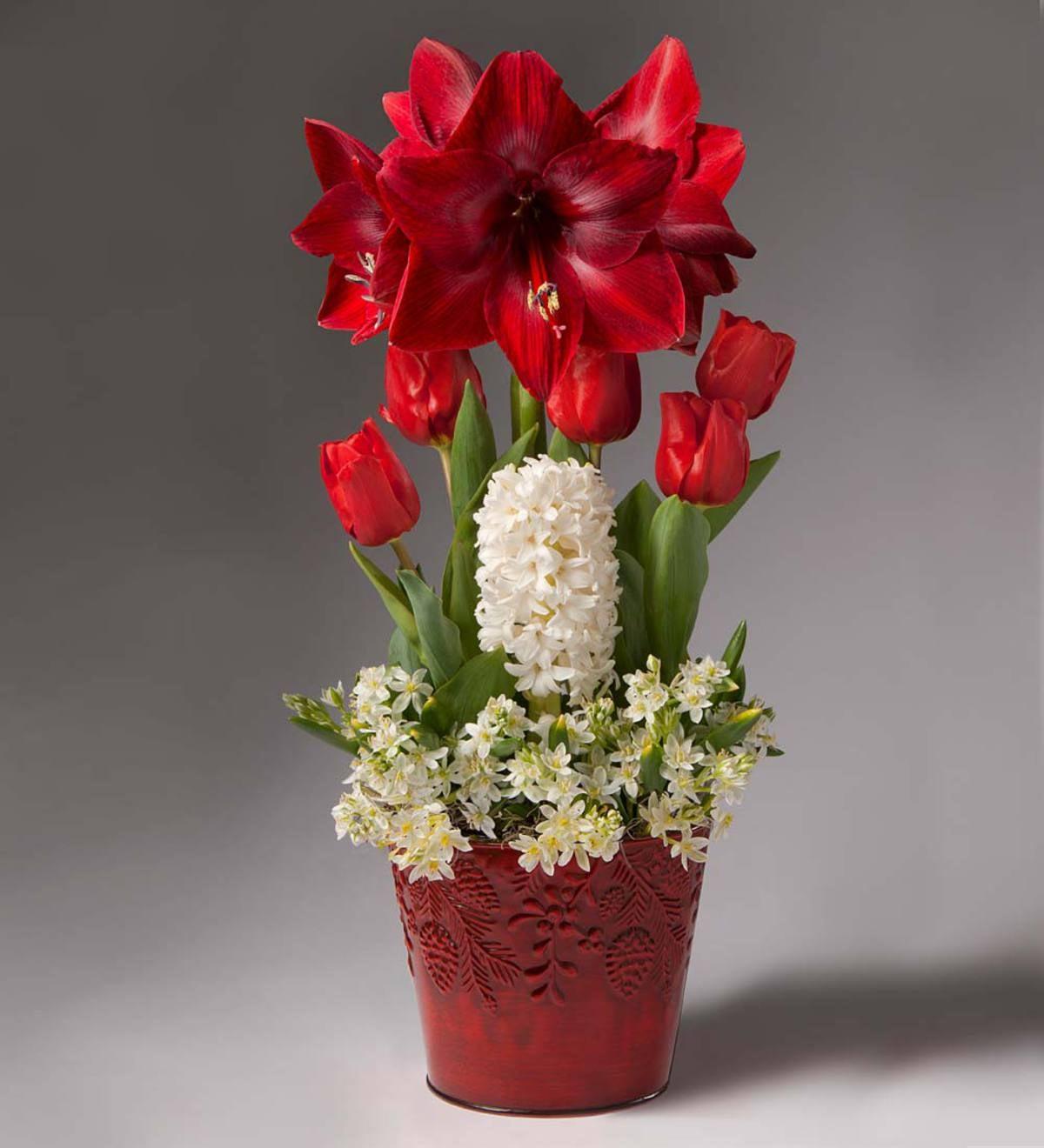 amaryllis christmas gift garden