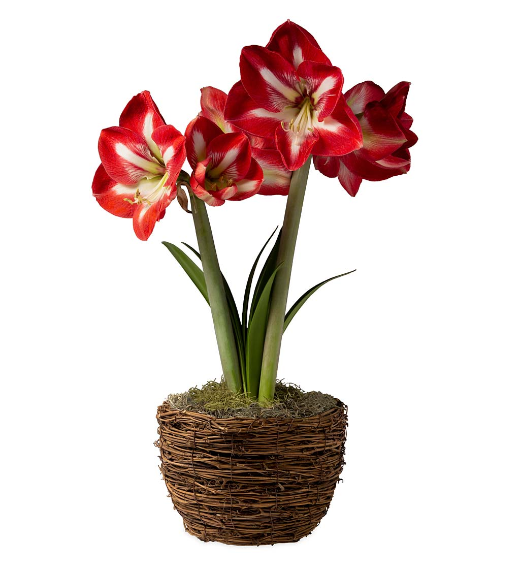 Potted 'Design' Amaryllis Bulb in Woven Basket